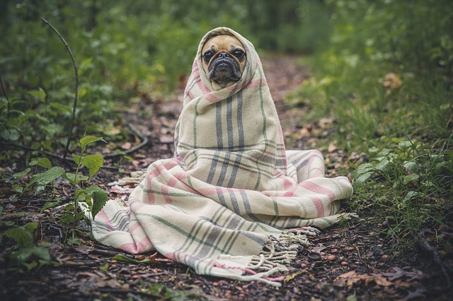 A pug in a blanket.