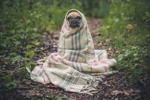 A dog wrapped in blanket