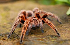 A tarantula does not belongs to shipping dangerous goods rules