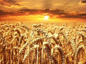 Picture of wheat field