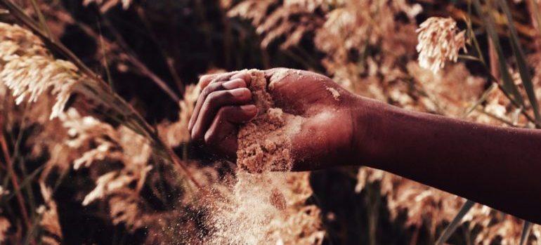 A hand spilling wheat seeds